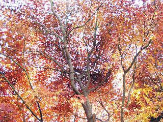 紅葉した楓
