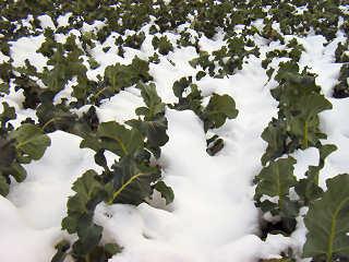 雪とブロッコリー