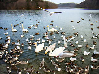 加瀬沼の鳥たち