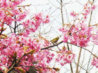 早咲きの桜とメジロ