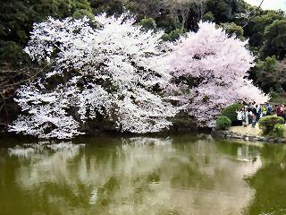 新宿御苑の桜1