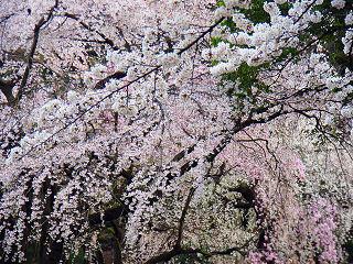 新宿御苑の桜3